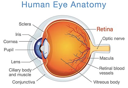 Diagram of the Eye and Retina